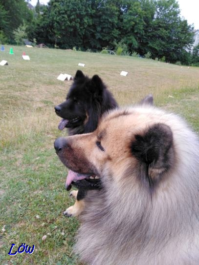 22.6.2019 - Howard und Dwix studieren den Rally Obedience Parcour